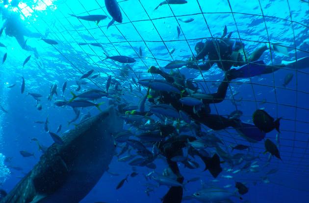 ジンベイザメ体験ダイビング 3