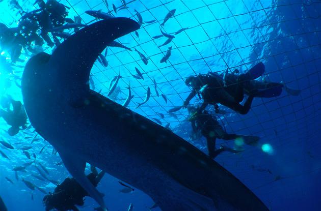 ジンベイザメ体験ダイビング 4