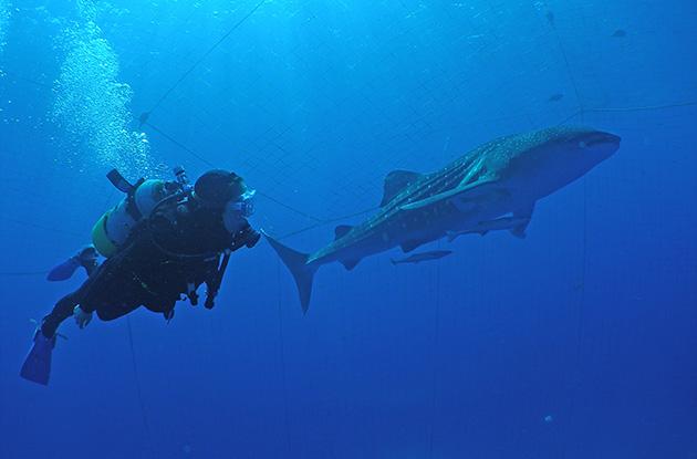 ジンベイザメ体験ダイビング 8
