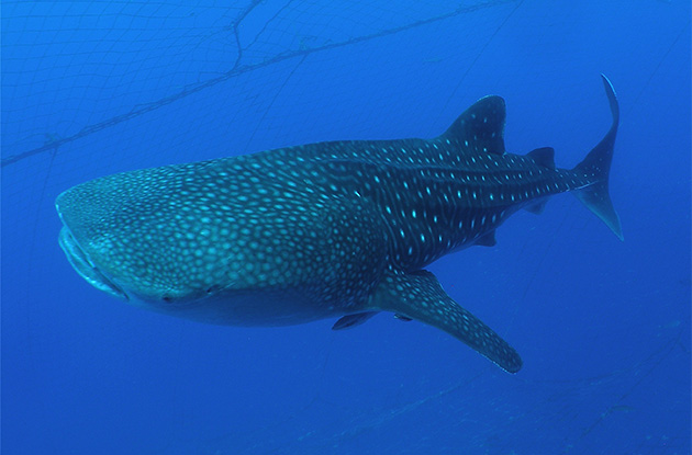 ジンベイザメ体験ダイビング 6