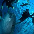 ジンベイザメ体験ダイビング