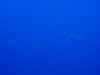 カメの代わりにマグロin慶良間体験ダイビング