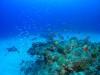 サンゴの白化が・・・。