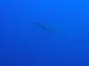 サメ+サメファンダイビング