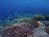 もりもりサンゴ健在、宜野湾ファンダイビング